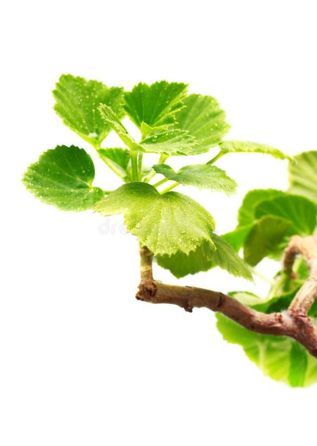 Geranium Leaves royalty free stock photography