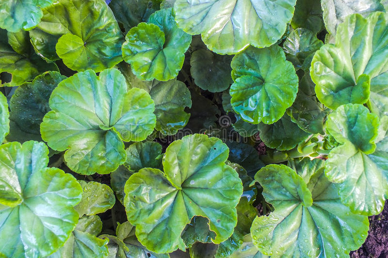 Geranium Leaves. Leaves of a geranium plant in the early morning light stock photography