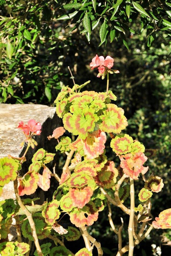 Geranium leaves under the sun stock image