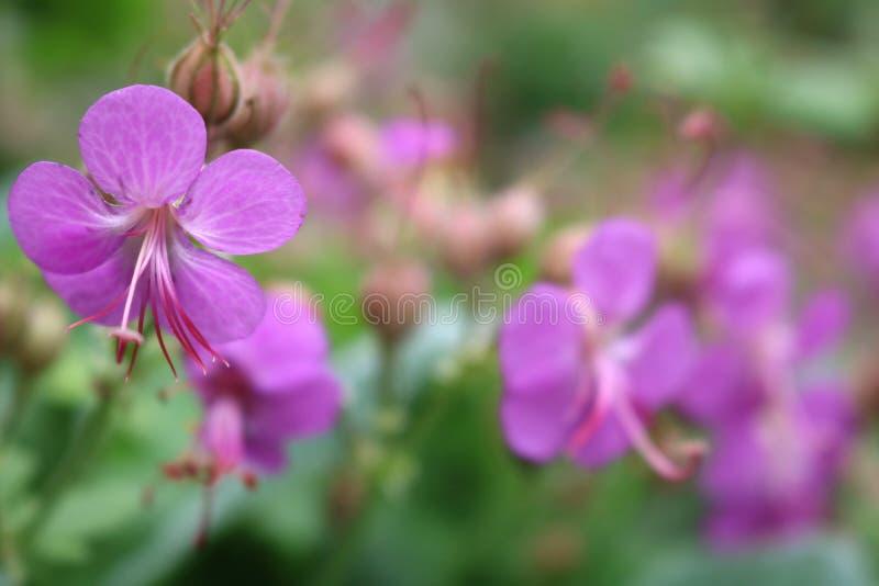 Geranium macrorrhizum, crane`s bill in bloom. Beautiful   Geranium macrorrhizum, crane`s bill in bloom stock photography