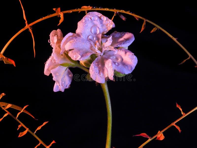 Geranium na czarnym tle fotografia royalty free