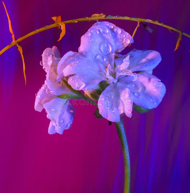 Geranium na kolorowym tle fotografia stock