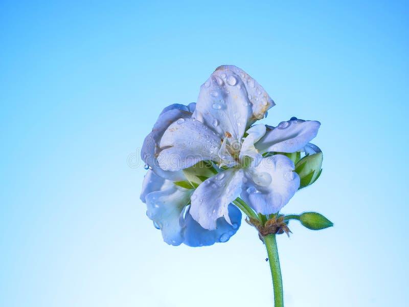Geranium na niebieskim tle zdjęcia royalty free
