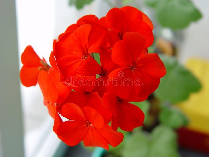 Geranium. stock image