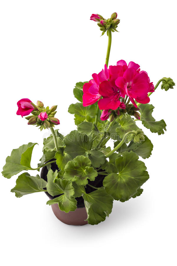 Geranium Pelargonium. Pink garden Geranium Pelargonium with buds isolated on white background, garden geranium flowers in flowerpot royalty free stock image