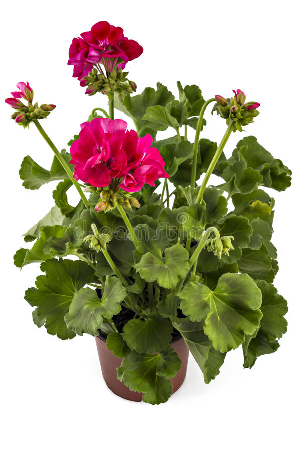 Download Geranium Pelargonium stock image. Image of beautiful - 81906441