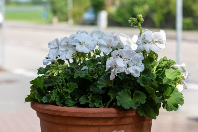 Geranium pelargonium with white flowers also known as cardinal, common geranium; garden geranium.  stock images