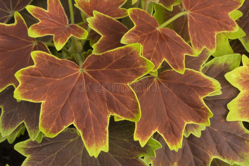 Download Geranium Pelgardini 'Vancouver Centennial' Stock Image - Image: 26107971