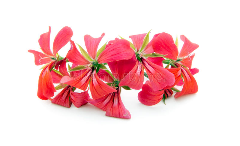 Geranium. Pink geranium flower isolated on white background stock photo