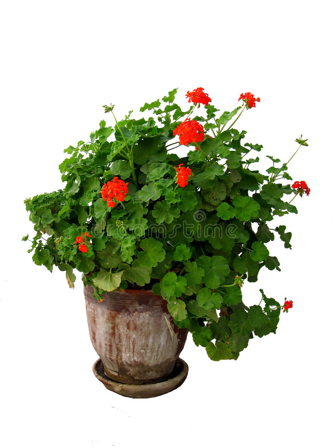 A geranium plant. In a pot isolated royalty free stock photos