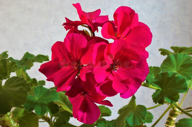 Geranium plant flowers are correct, large and beautiful stock photo