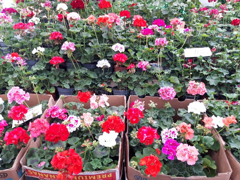 Geranium plant for sale with price tag. stock image