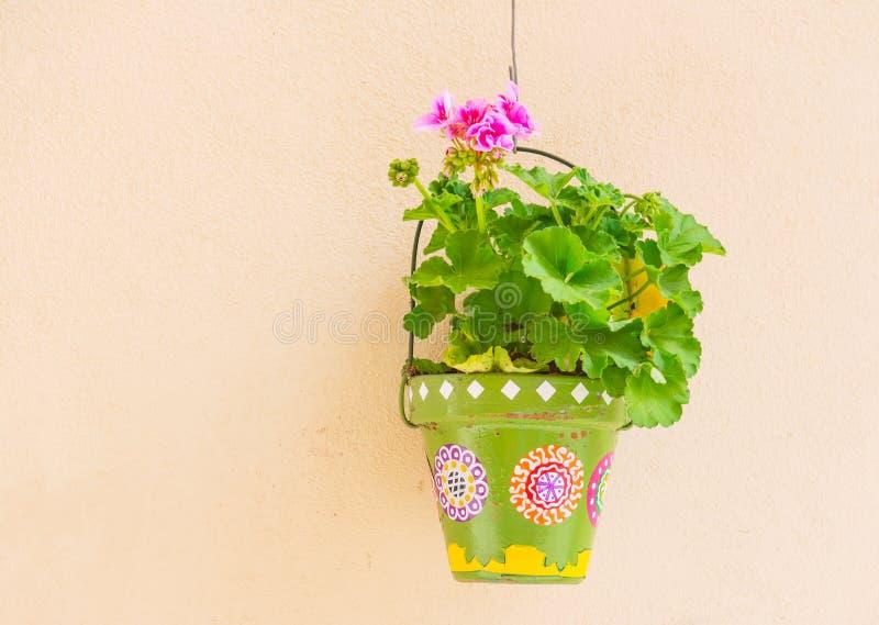 Geranium in a pot. Pink geranium in a green flower pot stock images