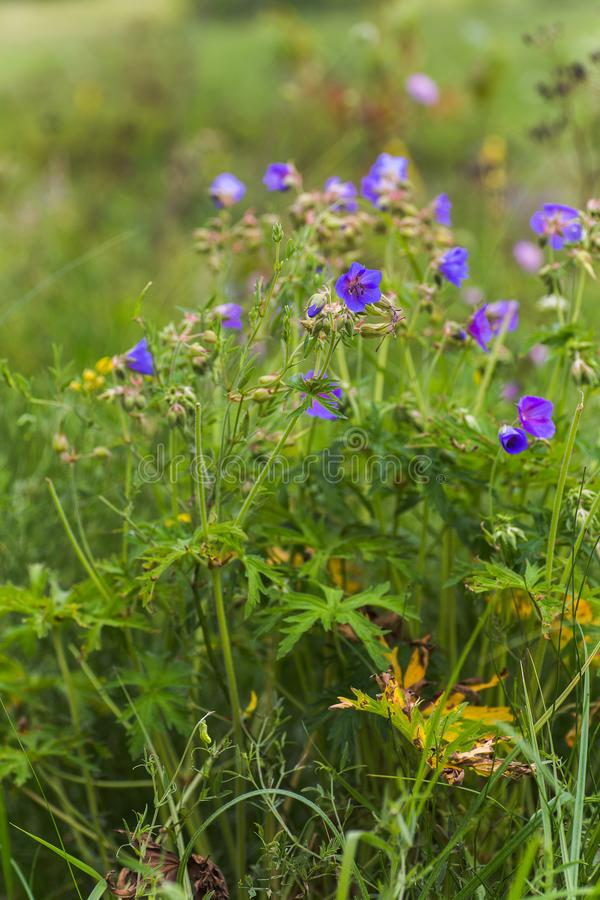 Geranium pratense, Meadow Cranesbill, meadow crane's bill, meadow geranium blue flower close-up against the background of the. Field. . medicinal and honey royalty free stock photography