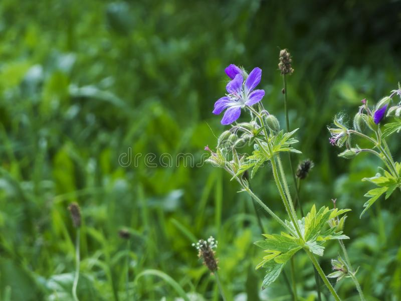Geranium pratense on a meadow_Wiesenstorchschnabel. Lateral close-up of a Meadow Cranesbill plant Latin: Geranium pratense with stems, leaves and several buds in stock image