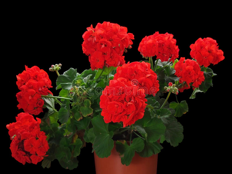 Geranium red flower in pot stock photo