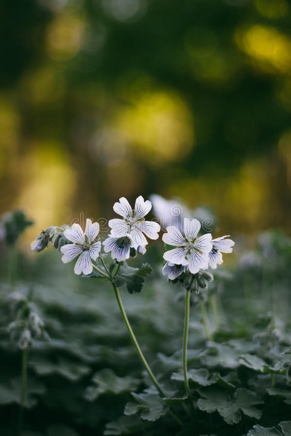 Geranium renardii on the flowerbed stock photo