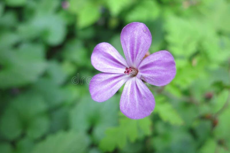 Geranium Robertianum stock afbeelding