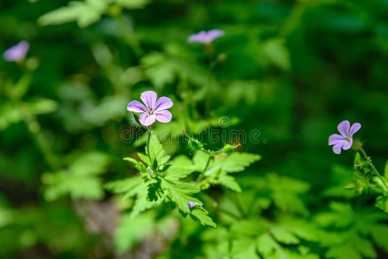 Geranium Robertianum royalty-vrije stock fotografie