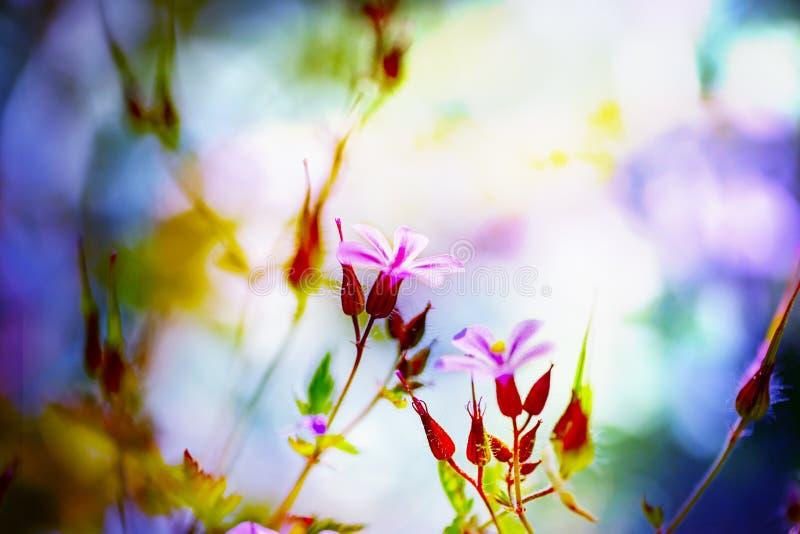 Geranium robertianum blossoming in spring garden. Herb robert - Geranium robertianum blossoming in spring garden. Flower bokeh. Selective focus royalty free stock image