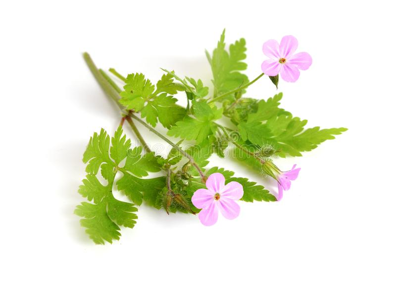 Geranium robertianum. Robertiella robertiana, commonly known as Herb-Robert, Red Robin, Death come quickly, Storksbill, Dove`s Foot, Crow`s Foot, or Robert royalty free stock image