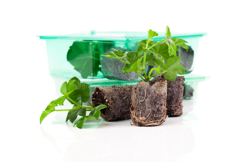 Download Geranium With Roots Stock Photo - Image: 83723503