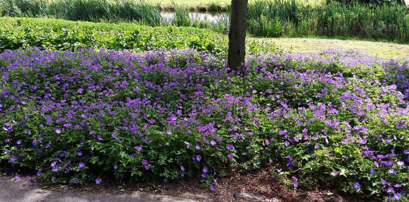 Geranium Rozanne, purpere bloemen in een park royalty-vrije stock afbeeldingen