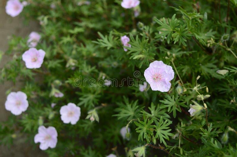 Geranium sanguineum striatum stock photos