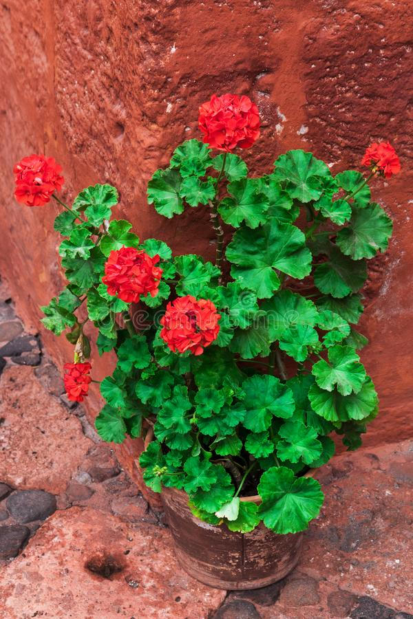 Geranium standing on the corner. Of the red building royalty free stock photo