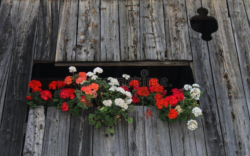 Geranium in trentino stock photo