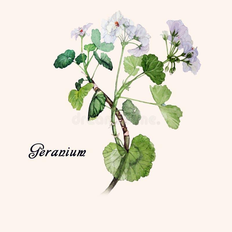 Geranium Watercolor royalty free stock photo
