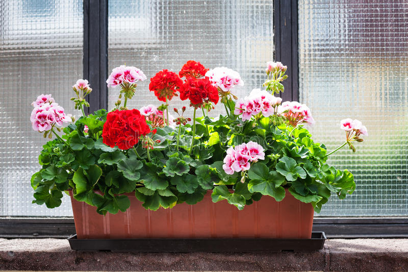 Marvelous Download Geranium On Window Sill Stock Image. Image Of Flower   56677881