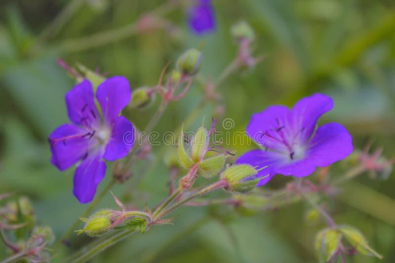 Geraniumbloem het groeien op een de zomerweide stock fotografie