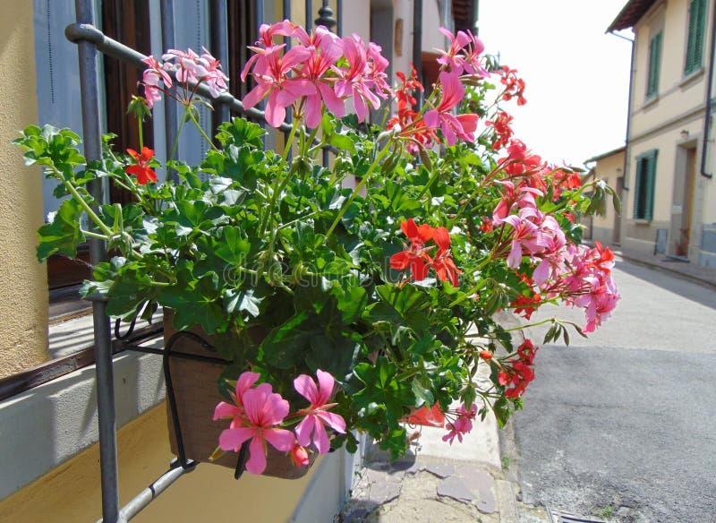 Geraniumbloemen met bladeren die in een pot in openlucht groeien, Italië royalty-vrije stock afbeeldingen