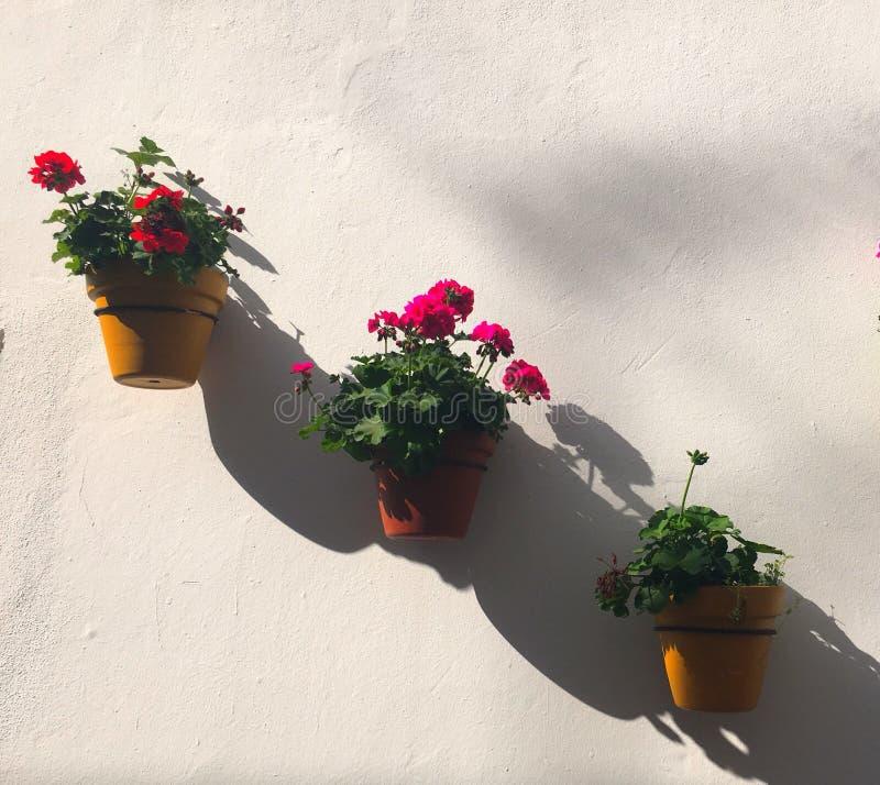 geraniums fotos de stock