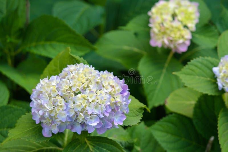 geraniums stock foto