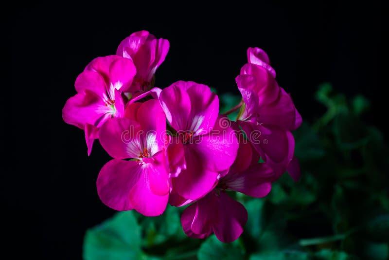 Geraniums on a black background. stock photo