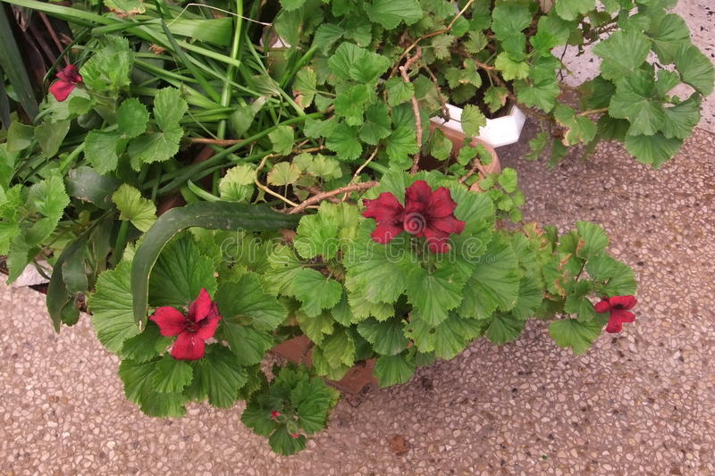 Geraniums in de lente stock foto