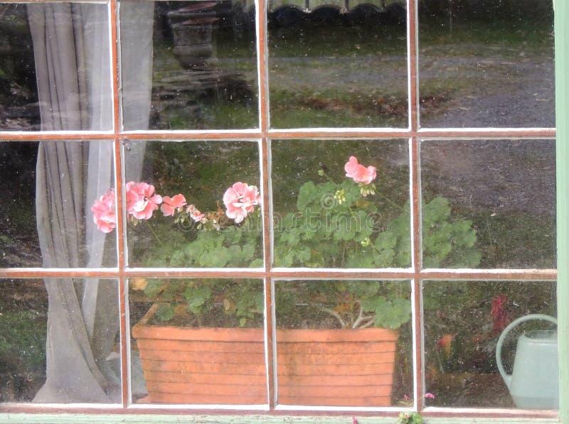 Geraniums in een planter door besmeurde ramen royalty-vrije stock foto