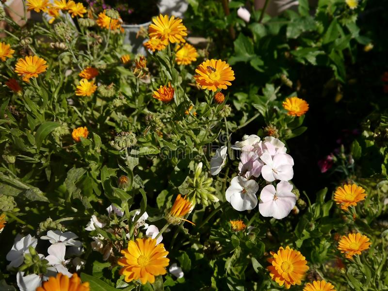 Geraniums and marigold flowers royalty free stock images
