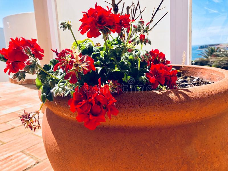 Geraniums in a terracotta pot stock photography