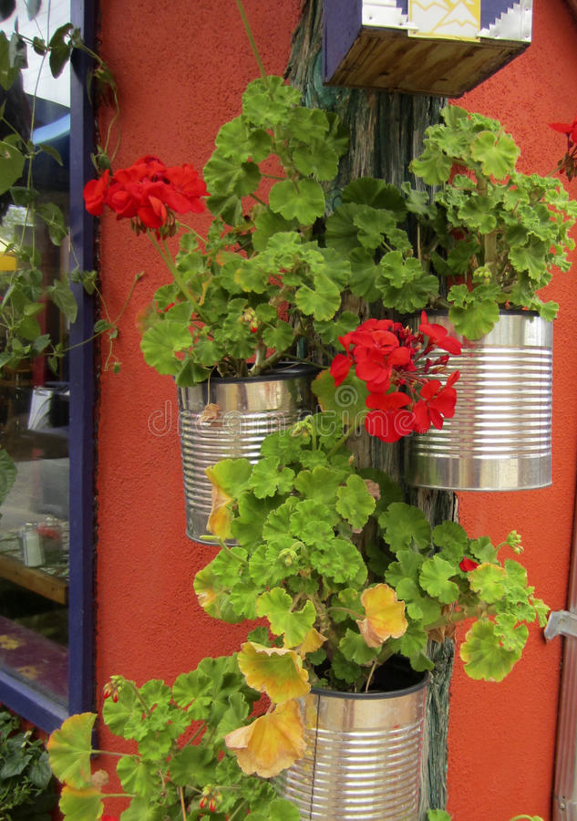 Geraniums in tin cans on a wall in Sante Fe royalty free stock photos