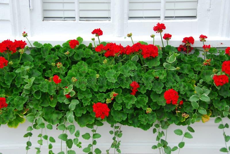 Geraniums on window royalty free stock image