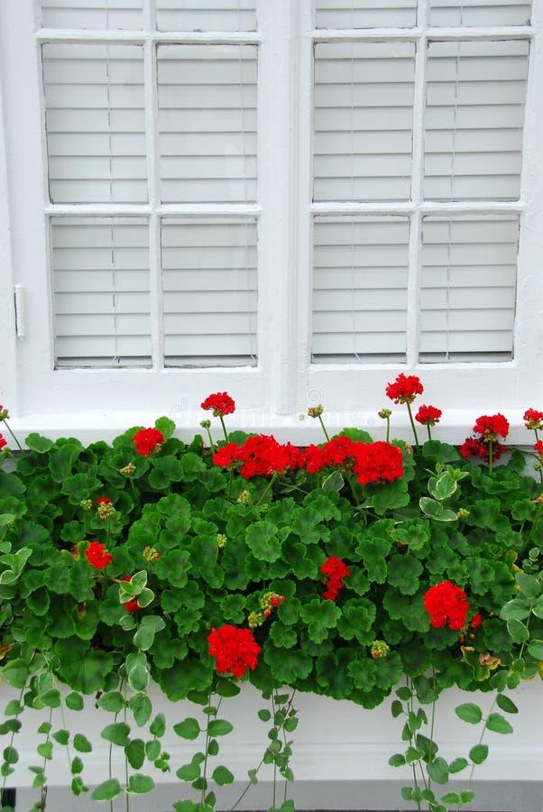 Geraniums on window stock images