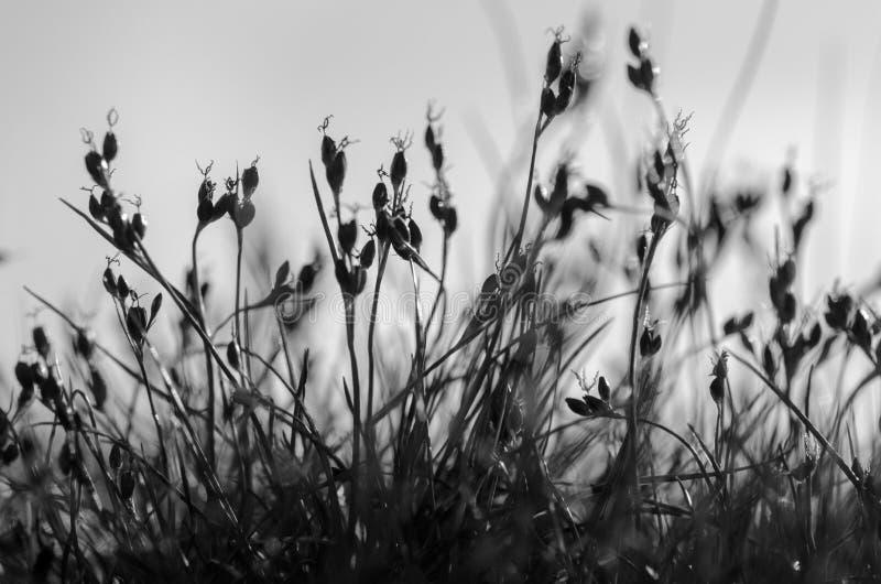 Gerardii de Juncus, blackgrass - photographie noire et blanche photos stock