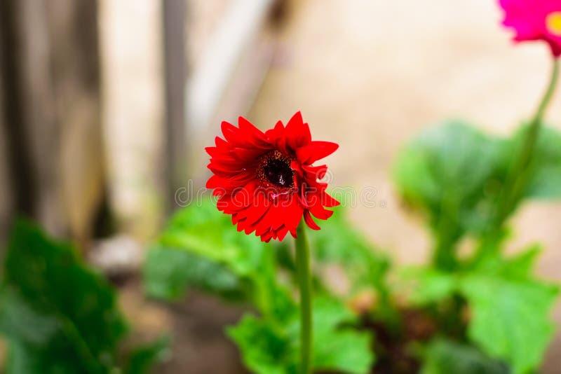 Gerberล kwiat w ogródzie zdjęcie royalty free