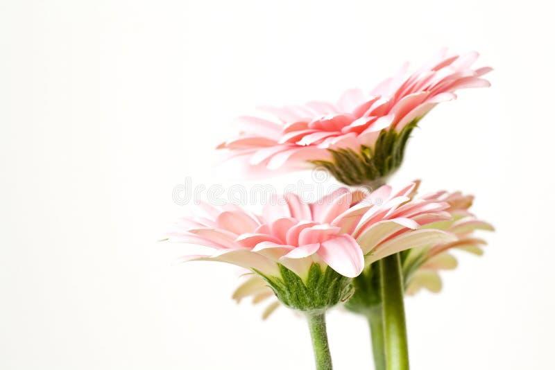 gerber粉红色 免版税图库摄影