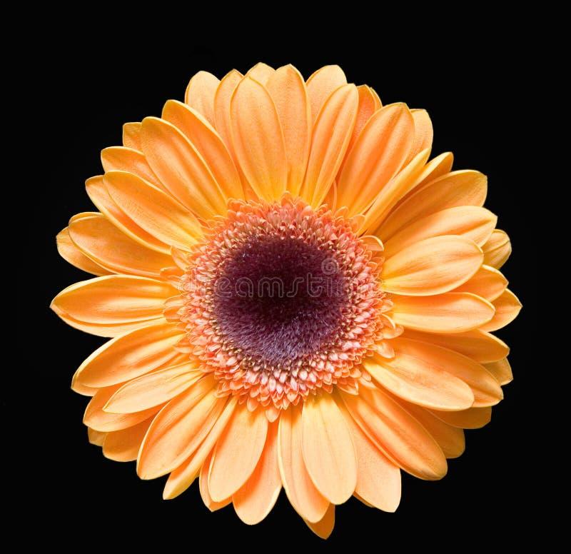 gerber żółty fotografia royalty free