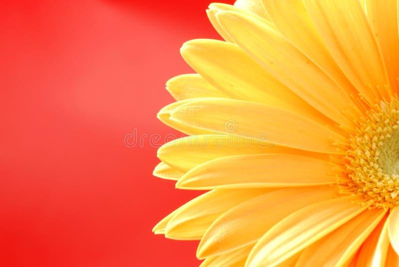 gerber żółty obrazy stock