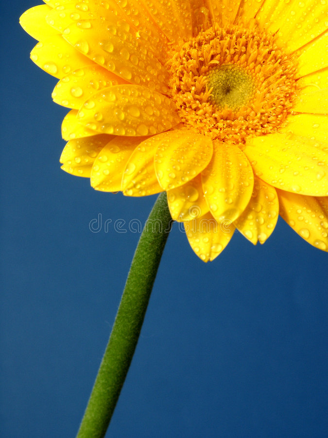 Gerber κίτρινος Στοκ Φωτογραφίες